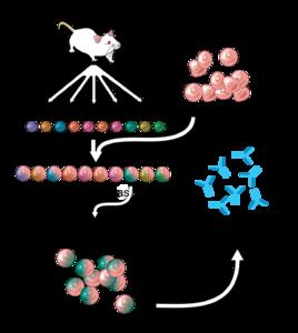 モノクローナル抗体's relation image