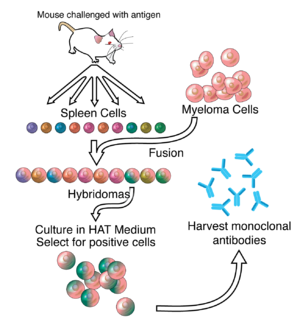 A General Representation Of The Method Used To Produce Monoclonal Antibodies