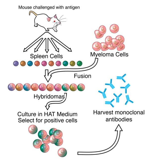 A general representation of the method used to produce monoclonal antibodies. Monoclonals.png