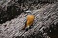 Monticola brevipes, Namibia 1.jpg