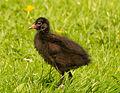 Moorhen chick.jpg
