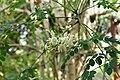 Moringa oleifera 01.JPG