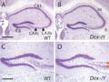 Morphological Abnormalities in the Dcx KO Hippocampus.png