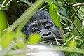 Mountain gorilla (Gorilla beringei beringei) 17.jpg