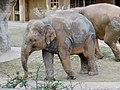 Muddy Asian elephants in Higashiyama Zoo.jpg