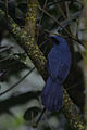 Mulato Azul, Blue Mockingbird, Melanotis caerulescens (16088357434).jpg