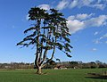 Multi-branched pine, Poltimore Park, Devon - geograph.org.uk - 724994.jpg