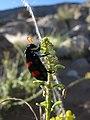 Mylabris oculata IMG 8328.JPG