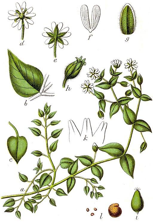 Myosoton aquaticum Sturm9