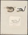 Myoxus glis - 1700-1880 - Print - Iconographia Zoologica - Special Collections University of Amsterdam - UBA01 IZ20400181.tif