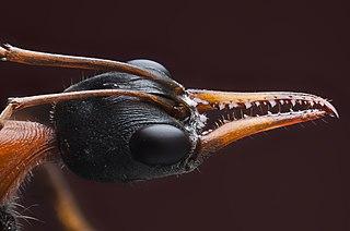 <i>Myrmecia nigrocincta</i> species of insect