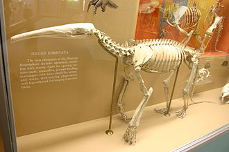Giant anteater - Mounted skeleton