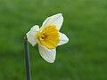 Narcis (Narcissus) 11.JPG