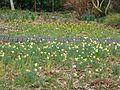 Narcissus pseudonarcissus ^ cyclamineus - Flickr - peganum.jpg
