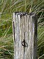 Nationalpark Niedersächsisches Wattenmeer - Damenpad Spiekeroog (7).jpg