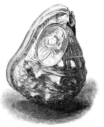 Natural History - Mollusca - Cameo Cassis.png