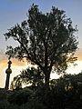 Naturdenkmal - die Silberpappel im Wiener 20.Bezirk 3.jpg