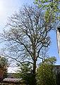 Naturdenkmal Platane in der Italienerstraße 3.JPG
