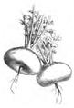 Navet jaune de Finlande Vilmorin-Andrieux 1883.png