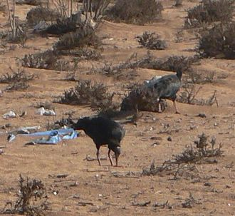 Northern bald ibis - Part of a flock in the Souss Massa stronghold