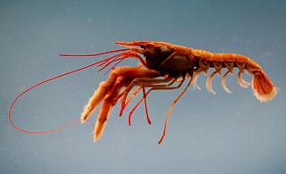<i>Nephropsis</i> genus of crustaceans