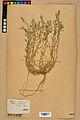 Neuchâtel Herbarium - Alyssum alyssoides - NEU000021935.jpg