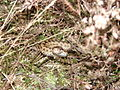 New Forest Adder.jpg