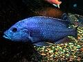 Nimbochromis Fuscotaeniatus male.jpg