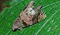 Noctuid Moth (Corythurus nocturnus) (8751176858).jpg
