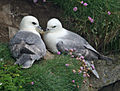 Northern Fulmar scotland RWD2.jpg