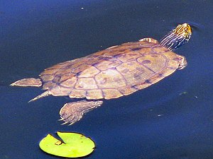 Northern Map Turtle.jpg
