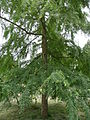 Nothofagus obliqua 01 by Line1.JPG