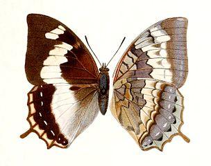 Bộ sưu tập cánh vẩy 4 - Page 20 304px-Novitates_Zoologicae1899PlateVIII%2C_Charaxes_mars_madensis%2C_%E2%99%80