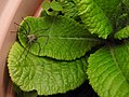 Nursery Web spider (28051030112).jpg
