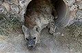 Nw 9540 Amboseli hyena bostad JF.jpg