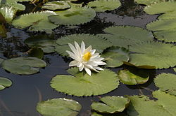 Nymphaea lotus3.JPG