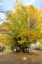 O-icho ichi-go (Big ginkgo tree No.1) which turned yellow of Sairen-ji Temple in Namegata city,IBARAKI,Japan.jpg