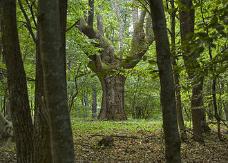 Bulgarian budnik - An oak like these in the Bulgarian mountains are most likely to be used for the budnik
