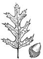 Oak (PSF).png