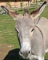 Oberösterreichischer Esel 03 (cropped).jpg