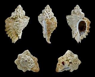 <i>Ocenebra erinaceus</i> Species of gastropod
