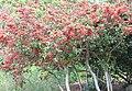 OchnaSerrulata plant - South Africa 2.jpg