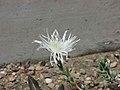 Octopoma calycinum -倫敦植物園 Kew Gardens, London- (9227007923).jpg