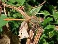 Odonata genus.jpg