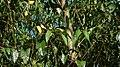 Odontadenia lutea (Vell.) Markgr. (4273687149).jpg