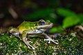 Odorrana hosii, Hose's frog - Khao Sok National Park (29495824780).jpg