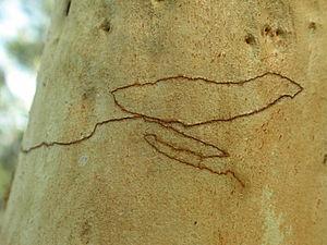 Ogmograptis scribula - Mine in bark of Eucalyptus rossii