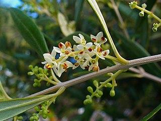 Oliva európska (Olea europaea) - kvety