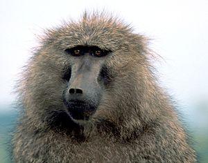 Primatomorpha - Olive baboon, Papio anubis