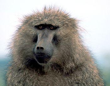 Papio anubis (olive or anubis baboon)